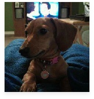 Bella the Red Miniature Dachshund in Her Happy Home!