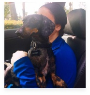 Benny the Black and Tan Dapple Miniature Dachshund in His Happy Home!