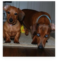 Maggie May and Bo the Red Miniature Dachshund in Their Happy Home!