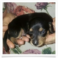 CiCi's (Candy's Chocolate Delight) Black and Tan Male Puppy #3