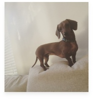 Gretchen the Red Miniature Dachshund in Her Happy Home!
