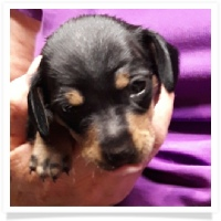 Jewel's Black and Tan Female Miniature Dachshund Puppy