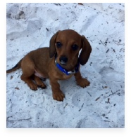 Joey Walker Red the Red Miniature Dachshund in His Happy Home!