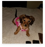 Lady the Shaded Red Miniature Dachshund in Her Happy Home!