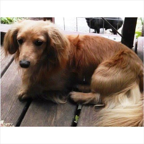 Luke - AKC and CKC Light Red Long Hair Male Minidature Dachshund