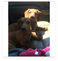 Maddie & Morgan the Red Miniature Dachshund in Their Happy Home!