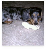 Myles the Blue Dapple Miniature Dachshund in His Happy Home!