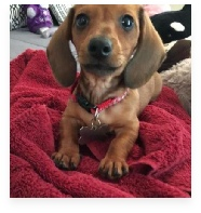 Papy the Red Miniature Dachshund in His Happy Home!
