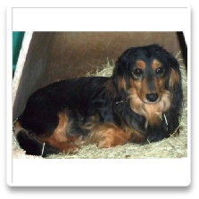 Rambo (Rambo Troubles Schneider) - AKC and CKC Black and Tan Long Hair Male Minidature Dachshund