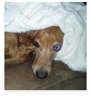 Roxie the Red Dapple Miniature Dachshund in Her Happy Home!