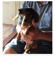 Willie Levi the Red Miniature Dachshund in His Happy Home!