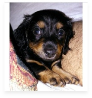 Winston the Black and Tan Miniature Dachshund in His Happy Home!