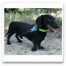 Zachary Nutter - AKC and CKC Solid Black Short Hair Male Minidature Dachshund